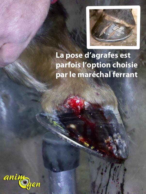 Maladie du pied chez le cheval : la seime (cause, prévention, traitement)