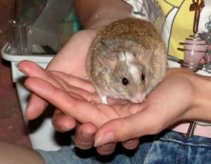 La souris géante d'Afrique, ou mastomys natalensis