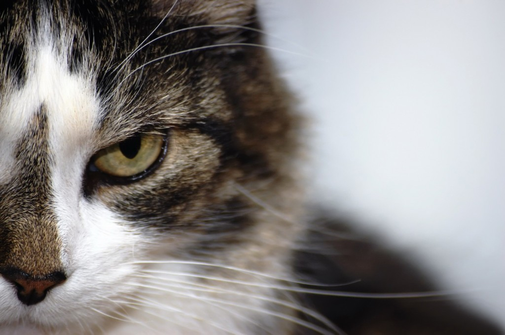 Le syndrome tyran-victime chez le chat (causes, symptômes, solutions)