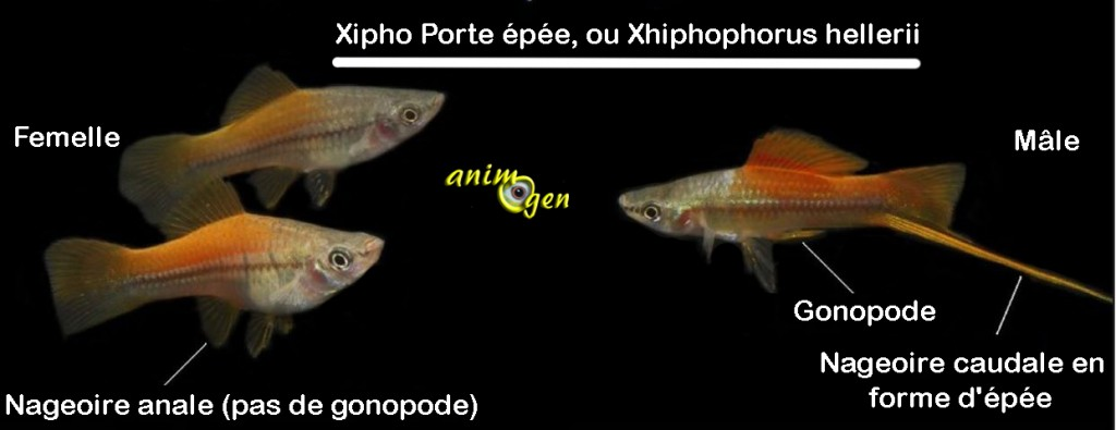 Le Xipho, porte épée, Xiphophore, ou Xiphophorus hellerii