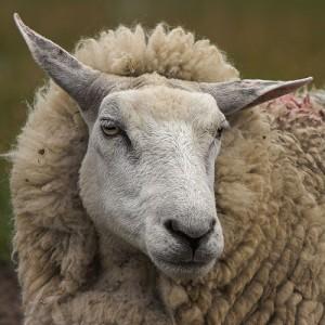 Les moutons ressentent-ils des émotions ?