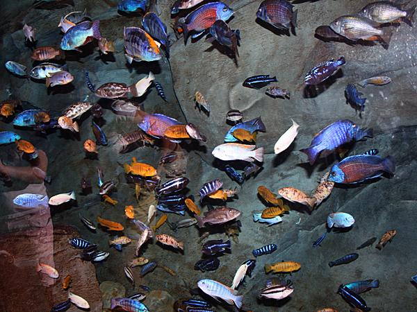 Les Cichlidés africains, une famille colorée