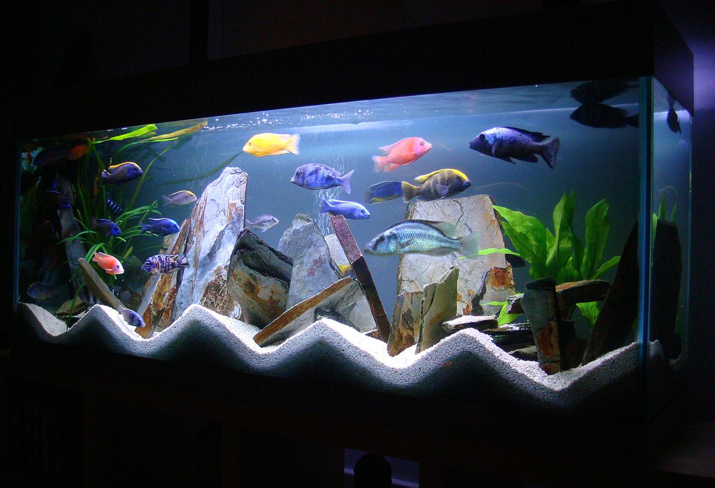 Aquarium d 39 eau douce lac malawi for Alimentation poisson aquarium