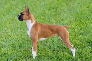 Le Boxer, un chien dans tous ses états