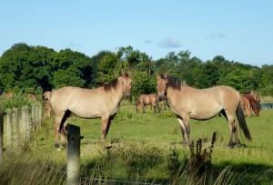 Le Henson, doux cheval de la Baie de Somme