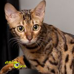 L'Ocicat, un chat à la robe sauvage