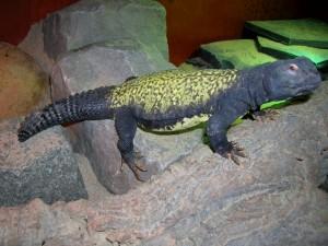 L'Uromastyx en captivité (particularités, maintenance, comportement)