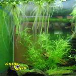 Les algues dans un aquarium d'eau douce (type, développement,élimination)