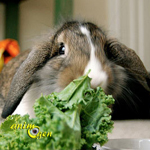 Aliments frais comestibles pour les lapins (légumes, fruits, plantes, aromates, feuillages)