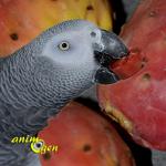 La figue de barbarie, la douceur en armure pour nos perroquets