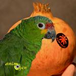 La grenade et ses petits grains d'automne, un fruit délicieux pour nos perroquets