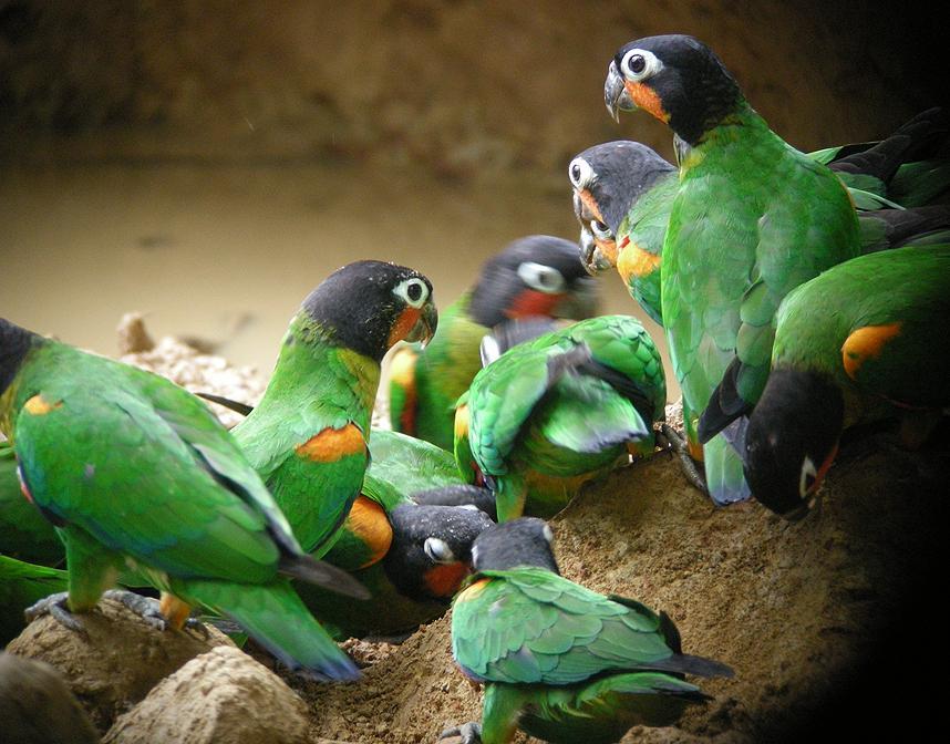 Alimentation et santé : les perroquets ont-ils besoin de gruger de l'argile en captivité ?