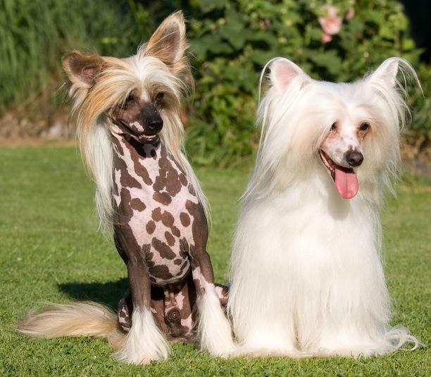 Le chien chinois à crête, ou chien nu de Chine