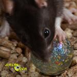 Jouet par détournement d'objet pour nos rats : le roulement à bille