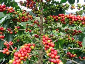 Le bois de Java pour les perroquets