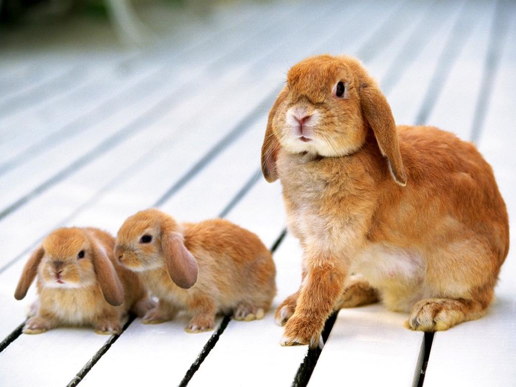 Reproduction et gestation des lapins