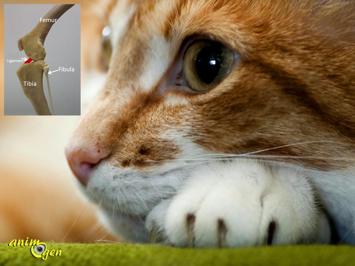 Santé : rupture des ligaments chez le chat (causes, diagnostic, traitement)