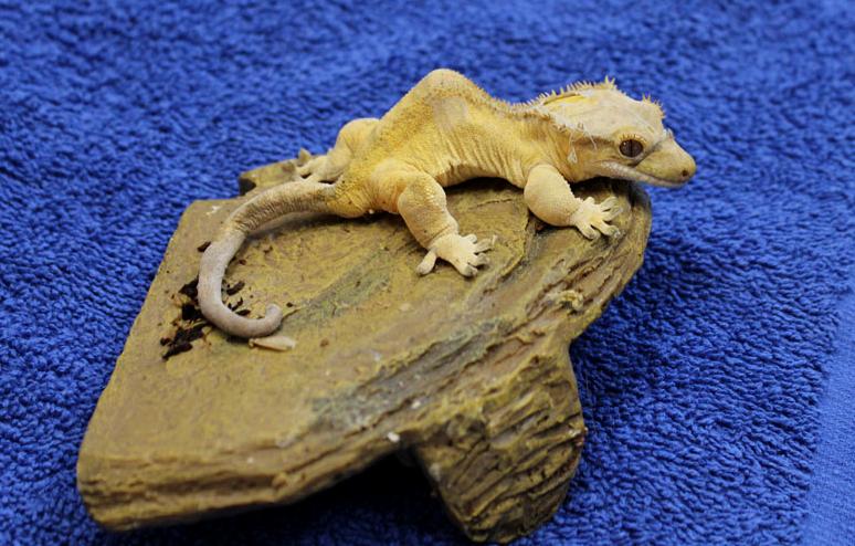 sant la maladie m tabolique des os chez les reptiles causes sympt mes traitement. Black Bedroom Furniture Sets. Home Design Ideas