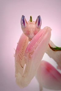 La mante orchidée, ou Hymenopus coronatus, insecte fleur parmi les fleurs