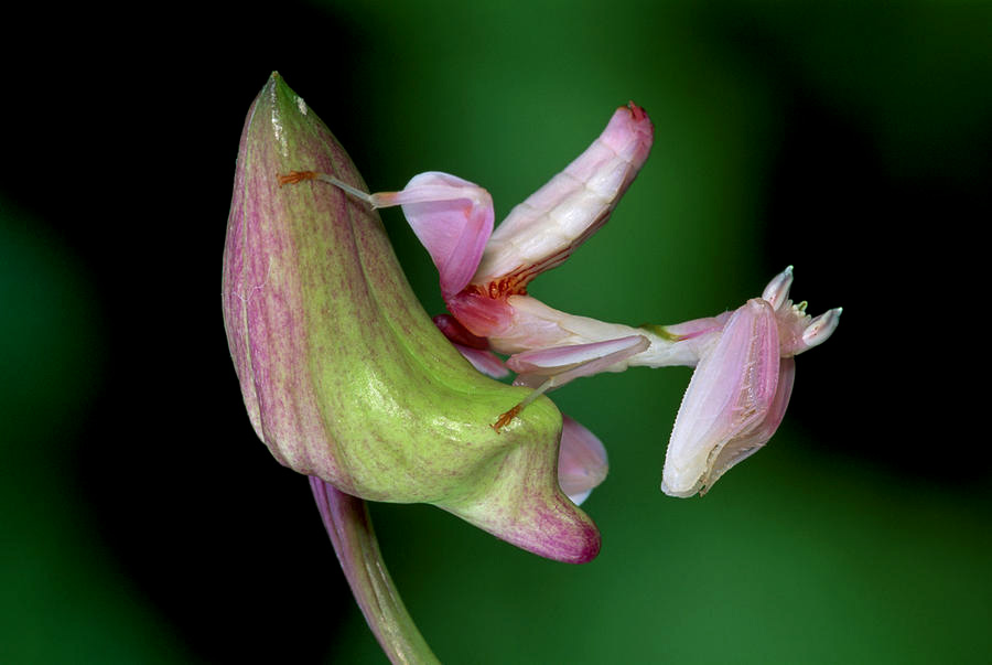 orchidee insecte