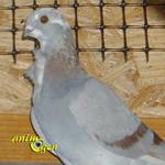 Le Cravaté italien, un élégant pigeon de forme
