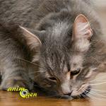 Pourquoi les chats sortent-ils la nourriture de leur gamelle pour la manger ?