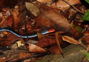 "Le ""100 pas"" ,  serpent corail bleu de Malaisie (Calliophis bivirgata)"