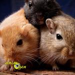 Gerbilles : faut-il adopter un couple ou des animaux du même sexe ?