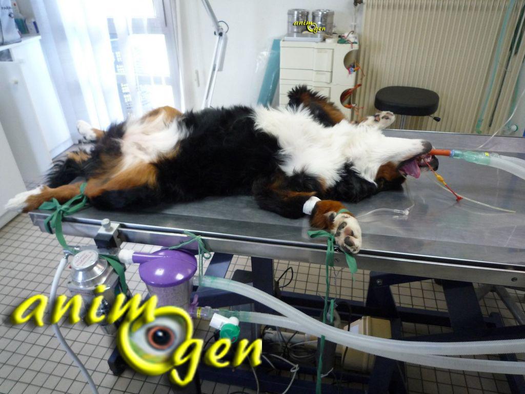 La stérilisation chez lachienne en images : déroulement et procédure