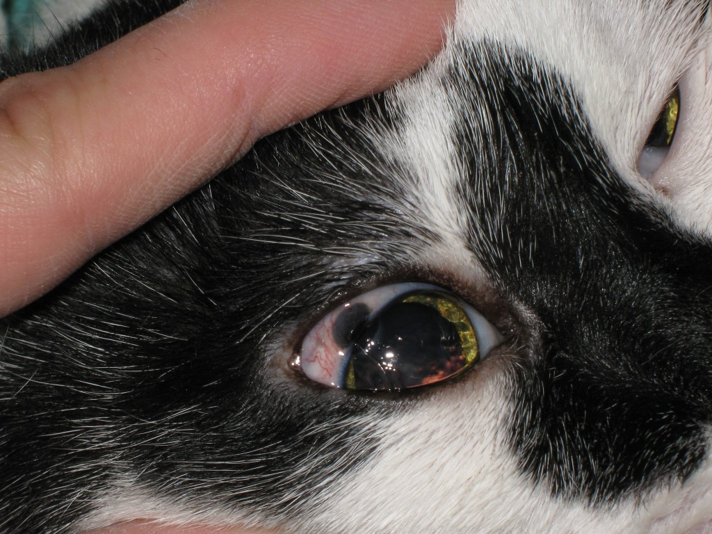 Santé : les changements normaux et anormaux de couleur des yeux chez les chats et chatons