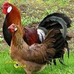 La poule d'Alsace, ou Alsacienne