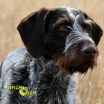 Le Braque allemand à poil dur, chien d'arrêt allemand à poil dur, ou Drahthaar
