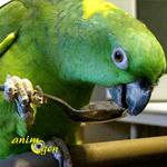 L'Amazone à nuque d'or, ou Amazona auropalliata (caractère, alimentation, comportement)