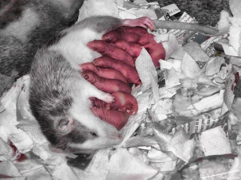 Pourquoi certains rats mangent-ils leurs petits ou ceux des autres ?