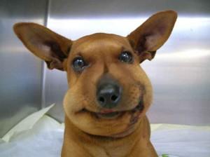 Comportement : pourquoi les chiens n'apprennent-ils pas à éviter les animaux sauvages dangereux ?