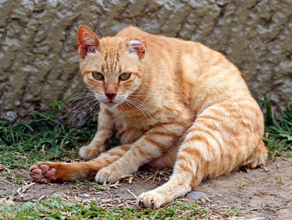 Un chat atteint d'une forme aigüe de gastro-entérite