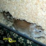 Comportement : pourquoi les gerbilles creusent-elles sans cesse ?