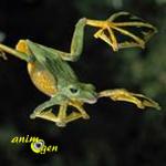 Une grenouille géante et volante découverte au Viêt Nam