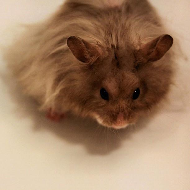 Le hamster angora (Mesocricetus auratus)