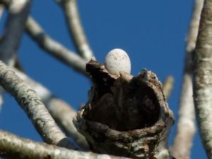 L'ibijau gris, ou Nyctibius griseus, à la découverte de l'oiseau fantôme