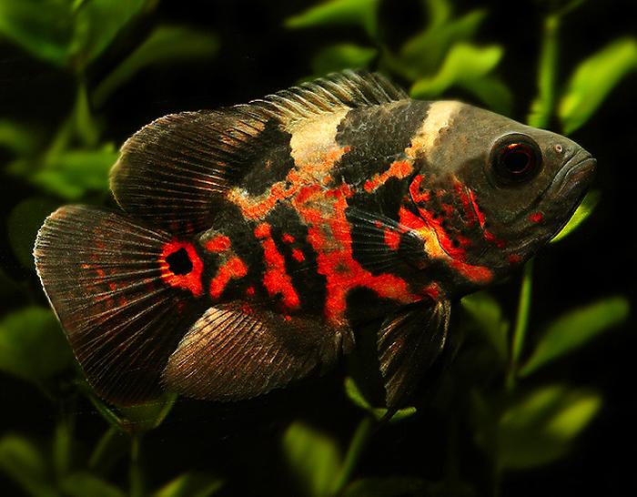 Parce-queue : les fonctions de la nageoire caudale chez les poissons