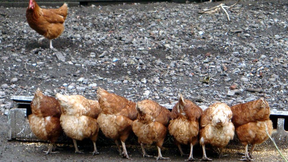 Alimentation : gestion et distribution des repas de nos poules
