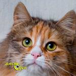 Le Sibérien, chat glamour de la Taiga