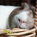 Le cycle de sommeil du cochon d'Inde, une adaptation à l'image de sa vie à nos côtés
