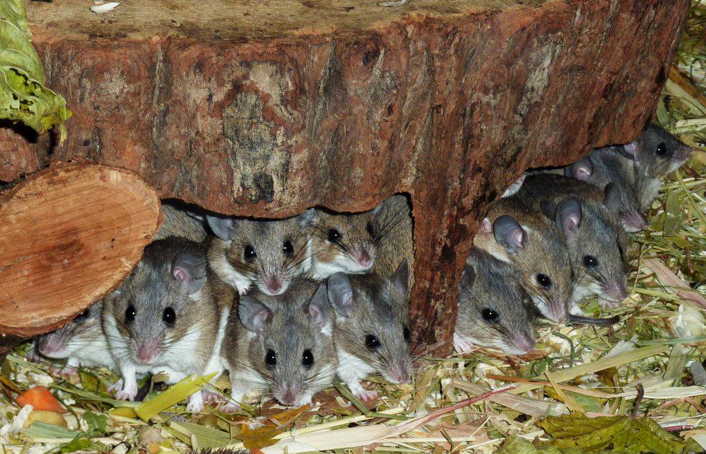 La souris épineuse, souris épineuse du Caire, rat épineux, ou Acomys cahirinus