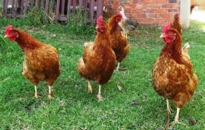 Les super pouvoirs visuels de nos poules