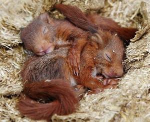 L'écureuil roux (Sciurus vulgaris) ou le ballet de casse-noisette