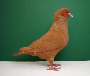 Le pigeon Carneau, lorsque la France rencontre la Belgique
