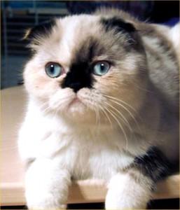 Le Foldex, un chat tout en rondeurs