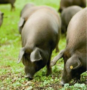 Le porc ibérique (origine, alimentation, utilisation par l'Homme)